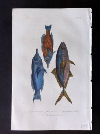 Lacepede 1840 Hand Col Fish Print. Caranxomore, Long Nose Fish 58